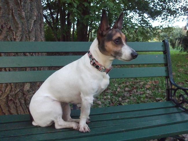 Jack Russel Terrier in a fancy dog collar