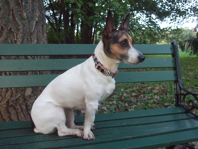Jack Russel Terrier in a fancy dog collar