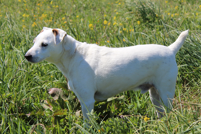 Cody the Jack Russel Terrier