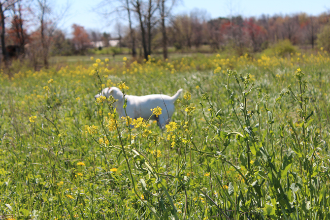 Jack Russel in the flowers