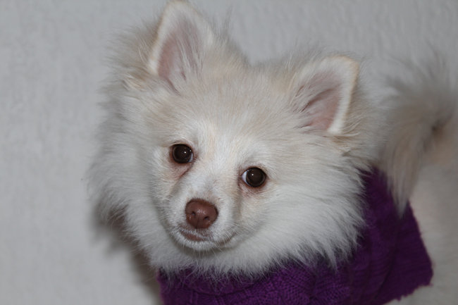 Pomeranian girl