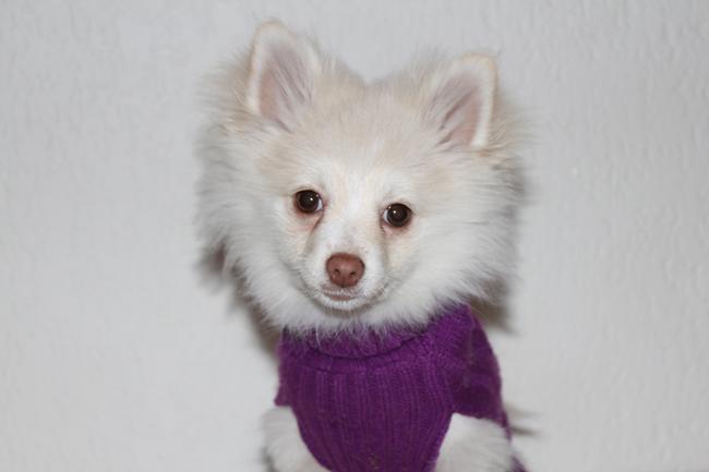 A Pomeranian Photo Shoot