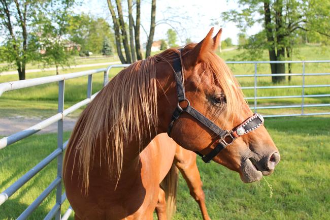 Quarter horse grazing