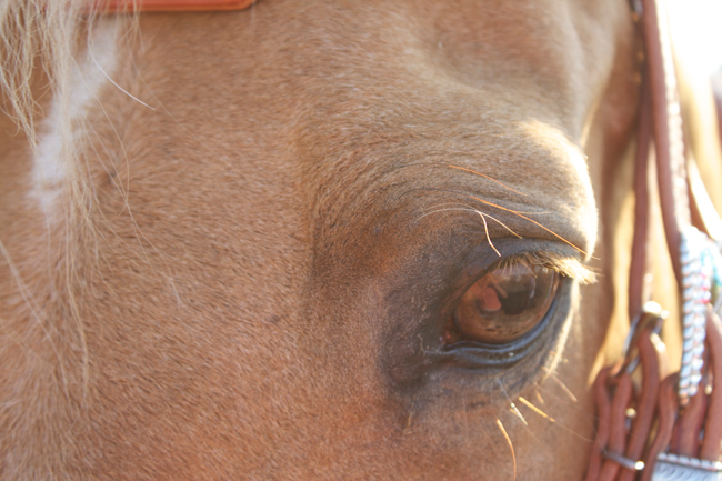 kind eyes on the Quarter Horse