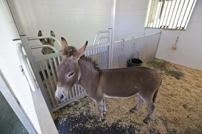 Donkeys in their stalls