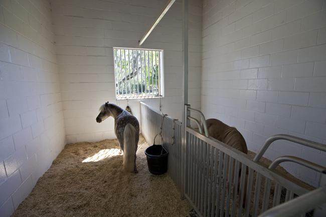 Mini horses inside the barn