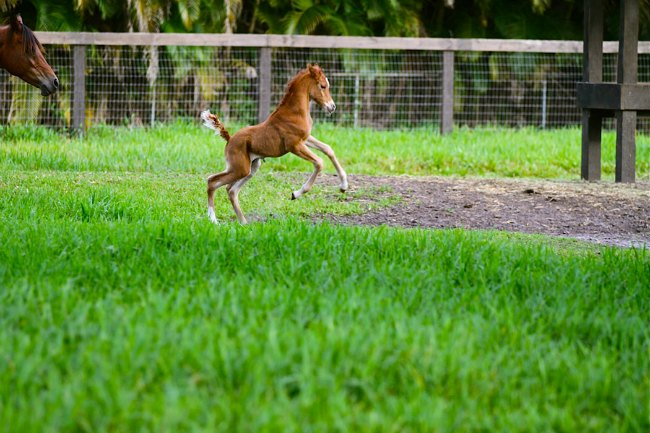 A new born foal at Blue Stallion Farm