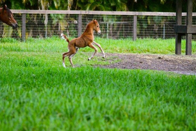 A new born foal at Blue Stallion Farm