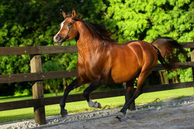Ezra, Arabian Stallion of Blue Stallion Farm