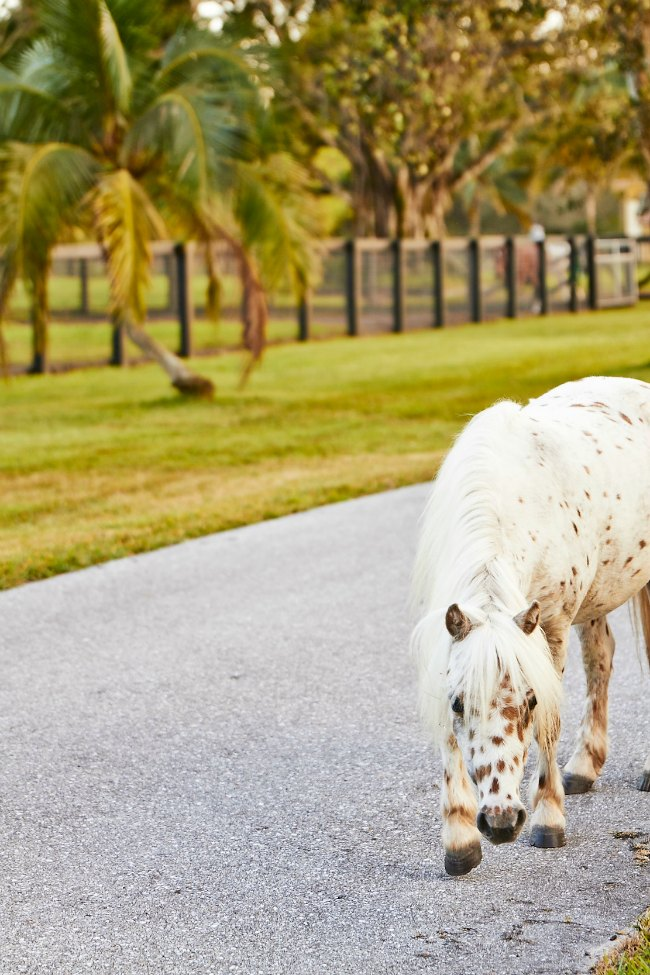 Melman, the Appalossa Minuature Horse