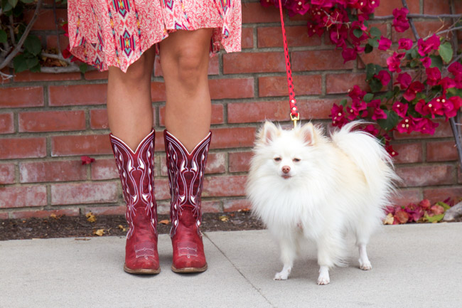 Pomeranian and cowboy boots