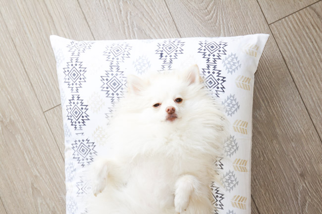 Mango the Pomeranian sleeping on her dog bed