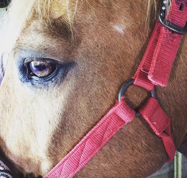 Palomino Quarter Horse | Horses & Heels