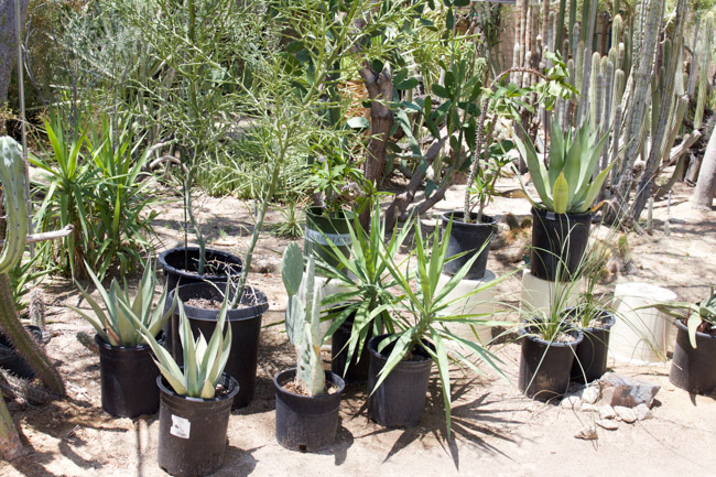 Plants for sale at Moorten Botanical Garden