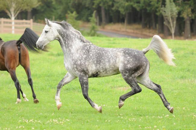 A grey mare named Zara at Wild Turkey Farm