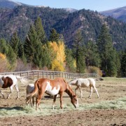 Pretty Paint horses in the pastures