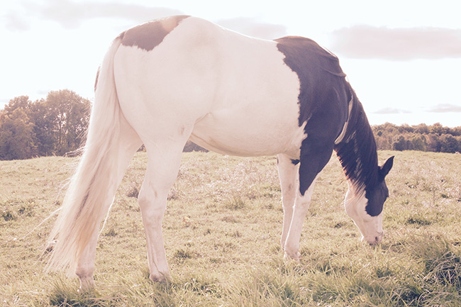 Horse photo, Paint mare