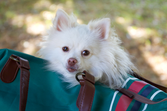 Mango the Pomeranian in an equestrian weekender tote