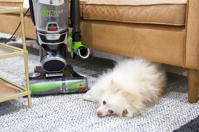Mango and the BISSELL pet hair vacuum