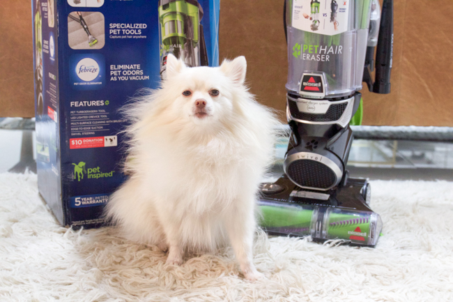 Mango the Pom and the new pet hair vacuum
