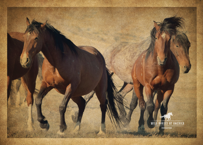 herd of wild mustangs