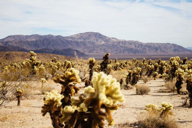 The Cholla Cactus Garden in Joshua Tree